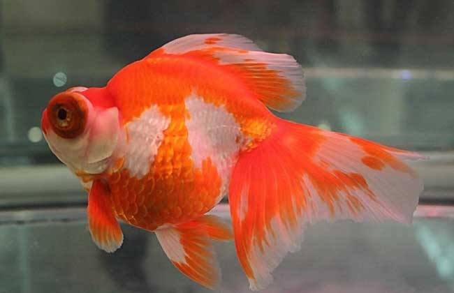 金鱼吃多了会有哪些后果